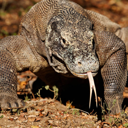Travel to Indonesia and the Island of Komodo – Episode 410