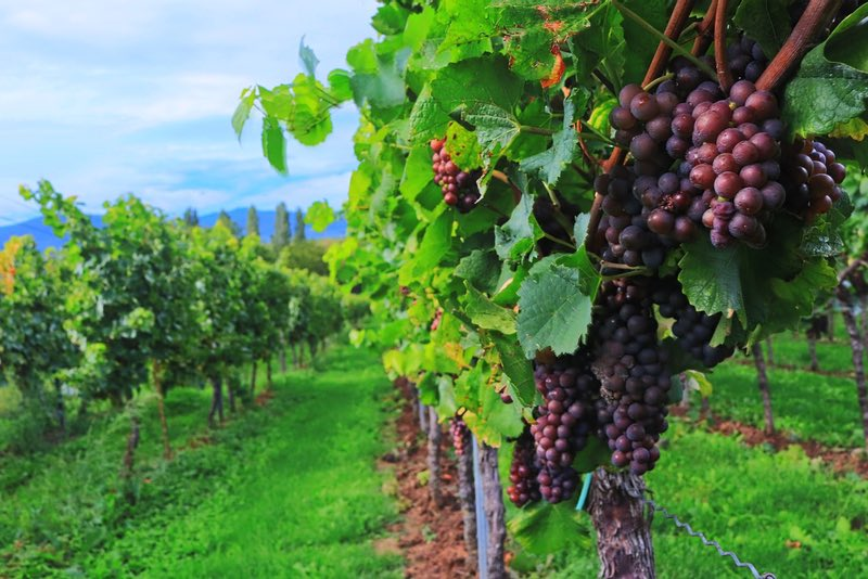 Vineyard - Western Australia