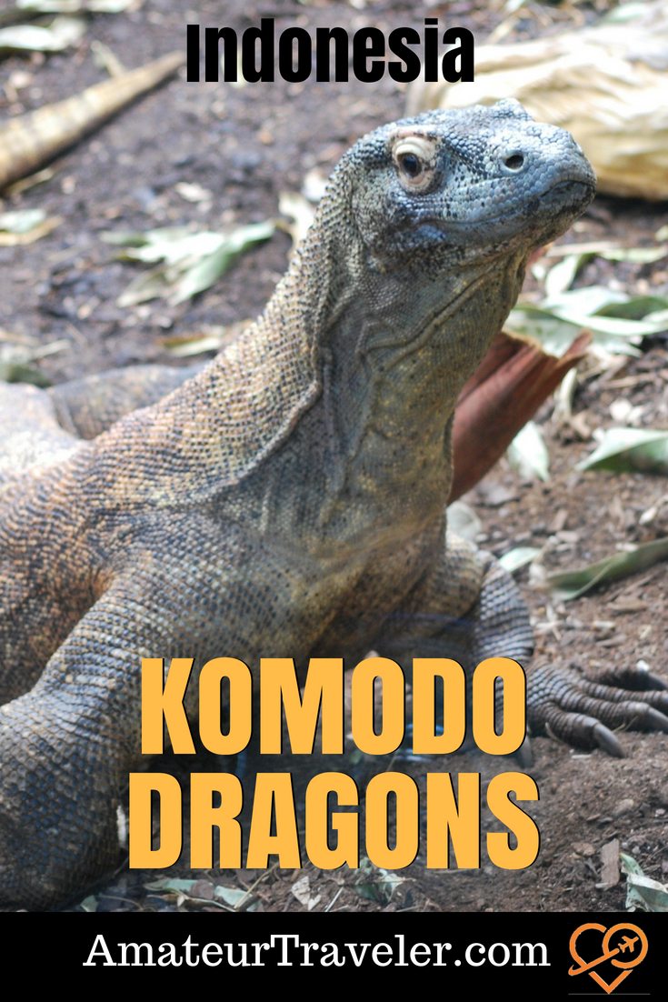 Komodo Dragons, Visiting the Largest Lizards in the World in Indonesia
