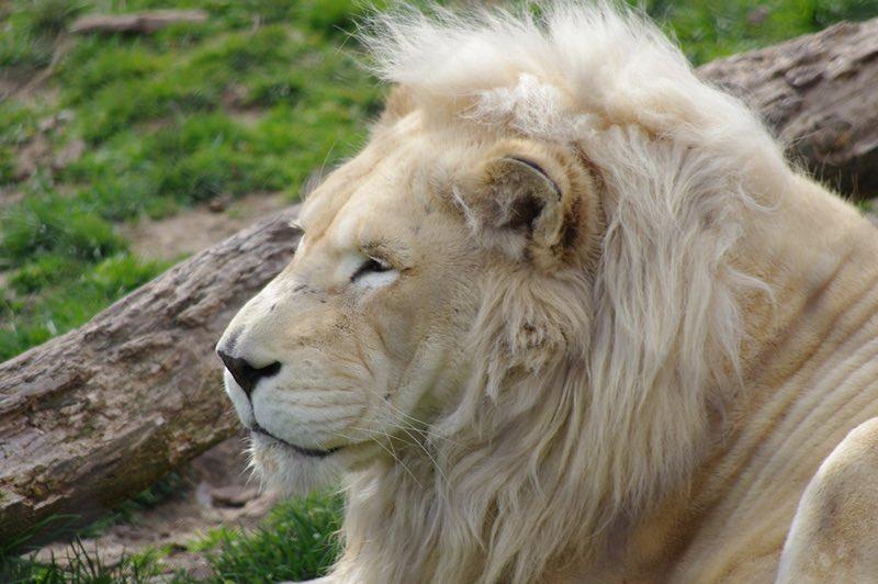 Lion in the Philadelphia Zoo