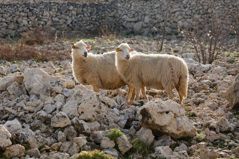 Sheep - Island Pag - Croatia