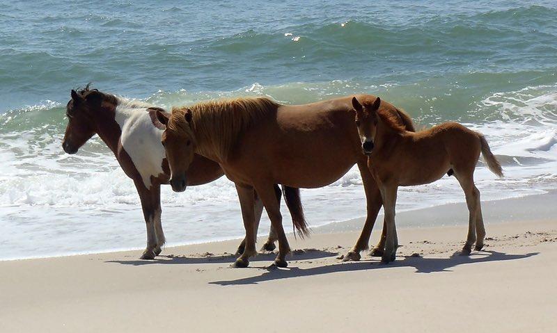 wild horses Assateague