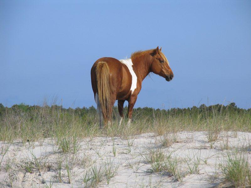 wild pony Chincoteague