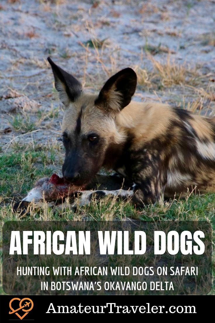 Hunting with African Wild Dogs on Safari in Botswana's Okavango Delta | Mobile Safari | Moremi Wildlife Reserve