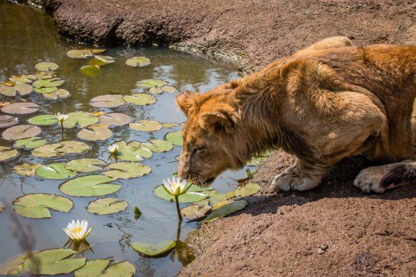 Lion Conservation Project, Zimbabwe