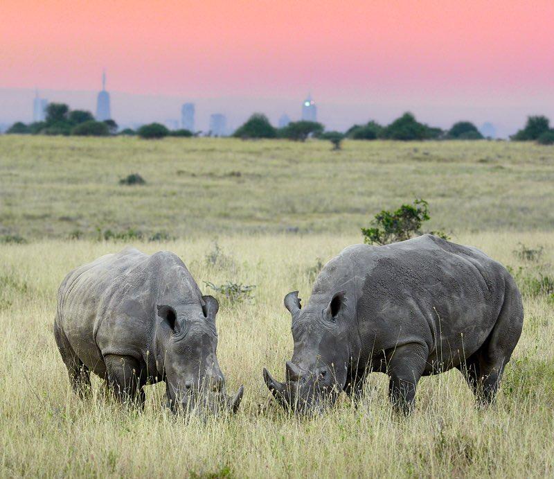 Nairobi National Park - rhinos