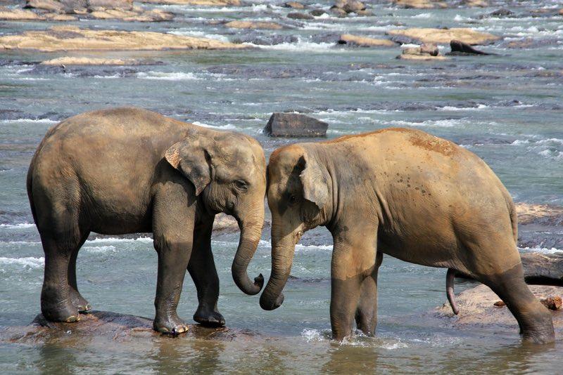 Elephants - Sri Lanka