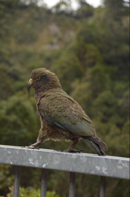 A kea showing off at Death's Corner