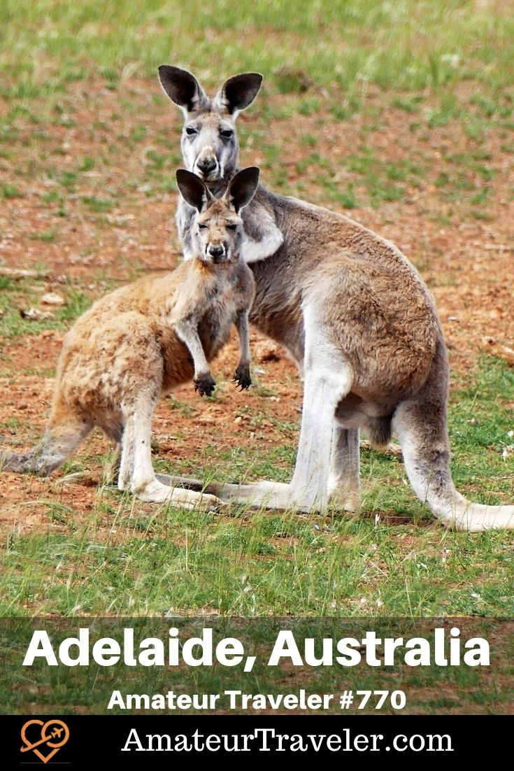 Red Kangaroos - Places to Visit in South Australias (Podcast) | Things to do in Adelaide #australia #south-australia #wine #things-to-do-in #adelaide #places #travel #trip #vacation #holiday